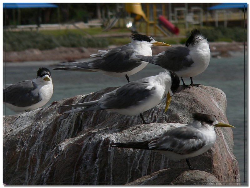 crested tern group; DISPLAY FULL IMAGE.