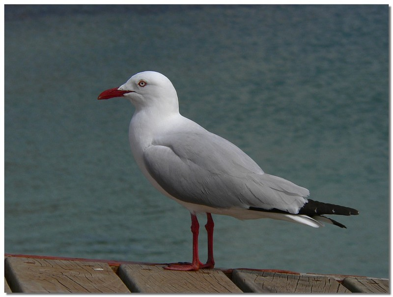silver gull 1; DISPLAY FULL IMAGE.
