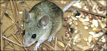 New mouse find is 'living fossil' [BBC 2006-10-12]; Image ONLY