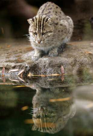 Fishing Cat, USA [REUTERS 2006-10-11]; Image ONLY