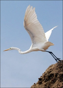 Great Egret, USA [AFP 2006-10-12]; Image ONLY