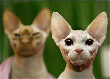 Sphynx cats, USA [AFP 2006-10-11]; Image ONLY