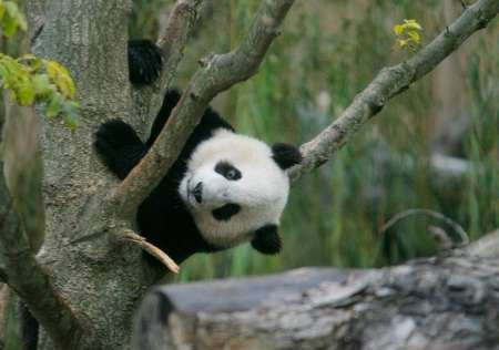 Giant Panda, USA [REUTERS 2006-10-17]; Image ONLY