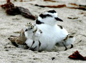 Childcare Tug-of-war Influences Shorebird Breeding Systems [ScienceDaily 2006-10-19]; Image ONLY