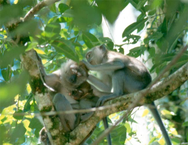Sucking Up: Why Monkeys Groom the Boss [LiveScience 2006-10-20]; Image ONLY