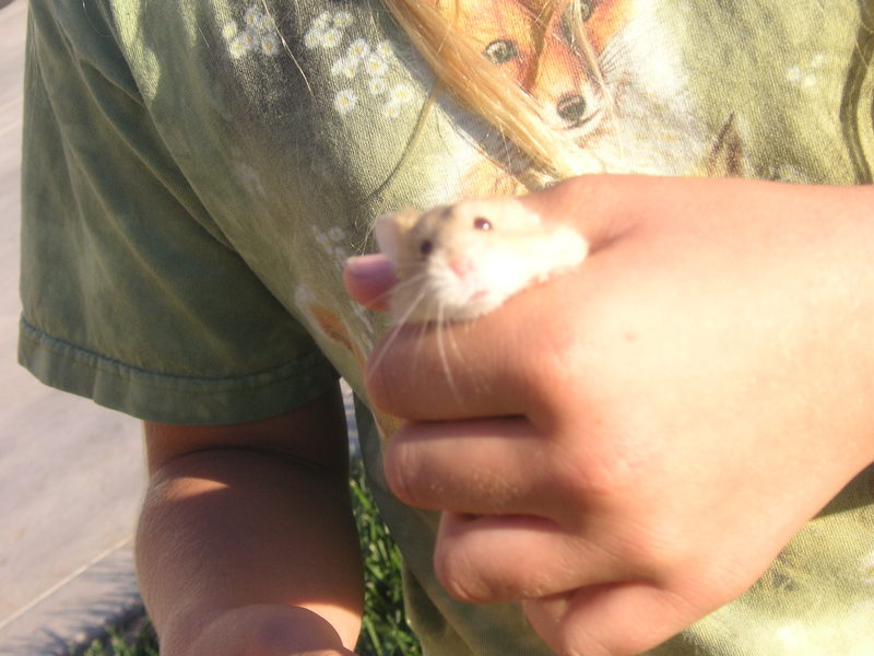 A dawrf hamster named Amber.; DISPLAY FULL IMAGE.