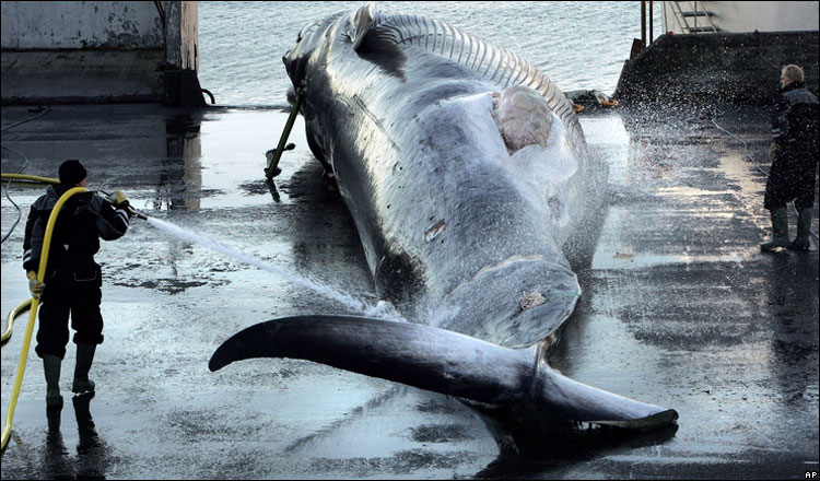 Iceland violates ban on whaling [BBC 2006-10-23]; Image ONLY