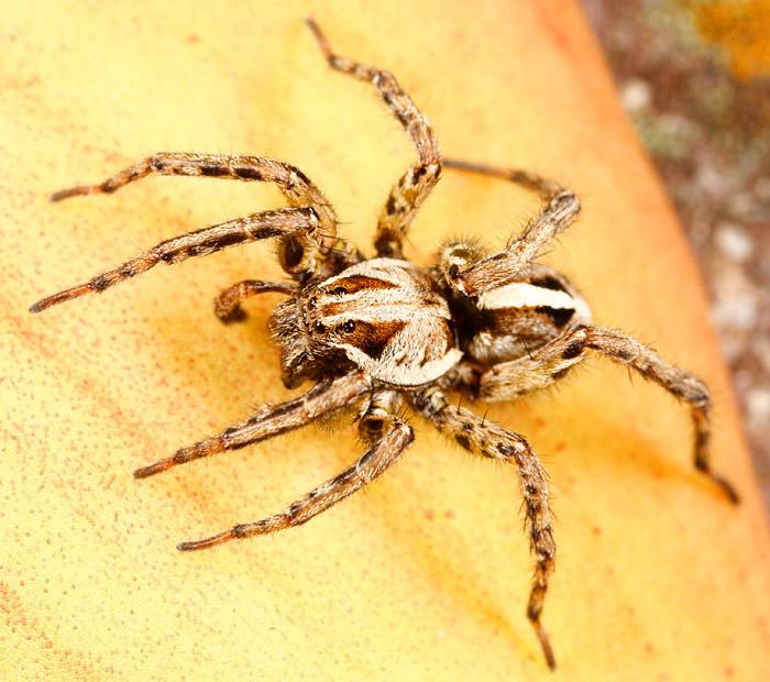 Wolf spider; Image ONLY