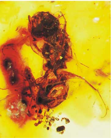 Oldest Bee Fossil Creates New Buzz [LiveScience 2006-10-25]; Image ONLY