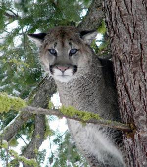 Cougar Predation Key To Ecosystem Health [ScienceDaily 2006-10-25]; Image ONLY