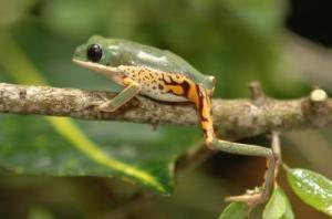 Study Challenges Belief That Tree Frogs Depress Metabolic Rate After 'Waxing' Themselves [ScienceDaily 2006-10-30]; Image ONLY