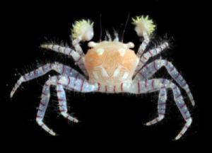 More Than 100 New Species Discovered In Hawaiian Islands [ScienceDaily 2006-10-31]; Image ONLY