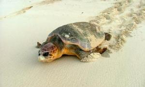 Saving Threatened Turtles In The Caribbean [ScienceDaily 2006-11-06]; Image ONLY