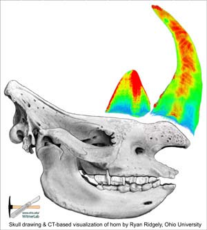 Mystery Solved: Why Rhino Horns are Curved and Pointed [LiveScience 2006-11-07]; Image ONLY