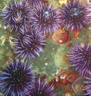Decoded Sea Urchin Genome Shows Surprising Relationship To Humans [ScienceDaily 2006-11-09]; Image ONLY