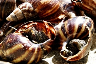 Barbados faces invasion by giant snails [AP 2006-11-08]; Image ONLY