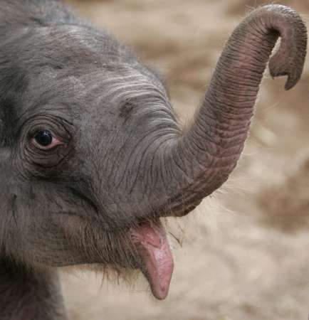 Baby Asian Elephant, Britain [REUTERS 2006-11-12]; Image ONLY