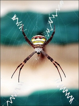 Signature Spider, India [AFP 2006-11-15]; Image ONLY