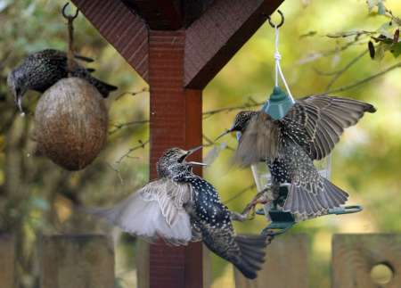 European Starlings, Britain [REUTERS 2006-11-17]; Image ONLY