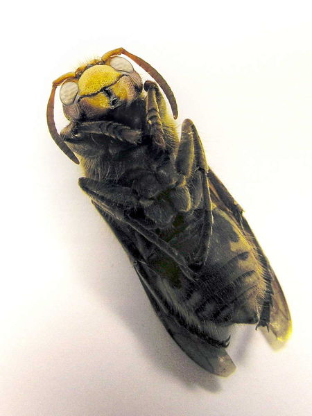 Wasp crabo; Image ONLY