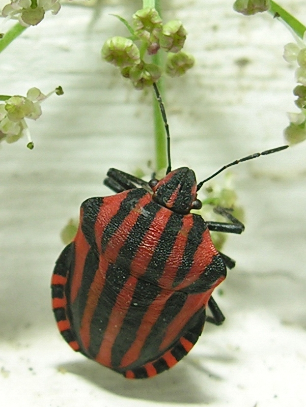 Graphosoma rubrolineatum - Stink bug; Image ONLY