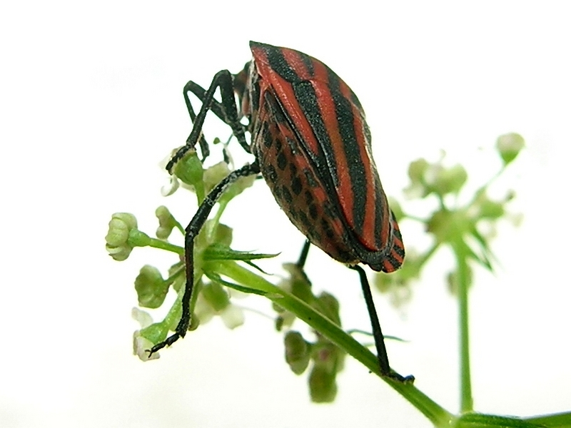 Graphosoma rubrolineatum - Stink bug; DISPLAY FULL IMAGE.