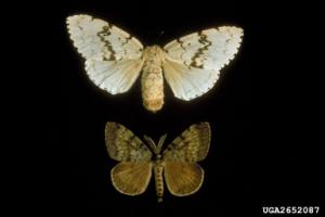 Edge Density Key To Controlling Gypsy Moth Spread [ScienceDaily 2006-11-20]; Image ONLY