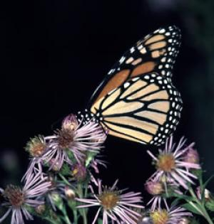 Food For Flight: Monarch Butterfly Migration And Forest Restoration [ScienceDaily 2006-11-20]; Image ONLY