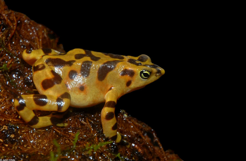 Panamanian Golden Frog (Atelopus zeteki); DISPLAY FULL IMAGE.
