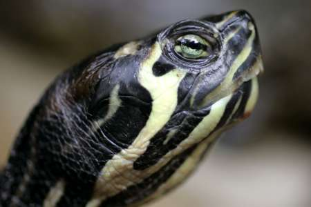 Red-eared Slider, Spain [REUTERS 2006-11-28]; Image ONLY