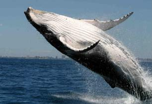 Whale Vocabulary More Elaborate Than Thought [LiveScience 2006-11-27]; Image ONLY