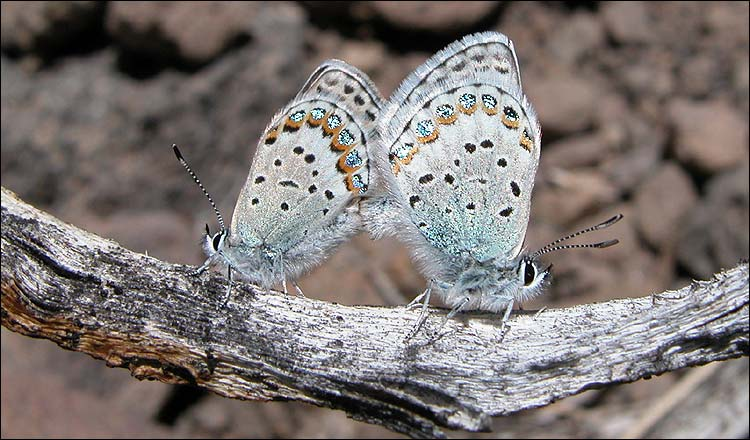 Hybrid Blue Butterfly Species - alpine Lycaeides [BBC 2006-11-30]; Image ONLY