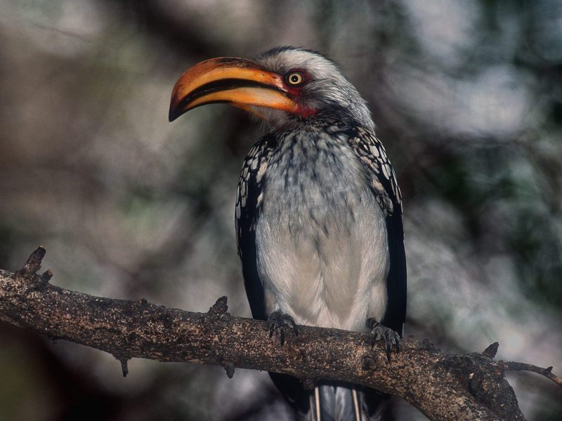 [Daily Photos] Proud Southern Yellow-billed Hornbill, Kruger park, South Africa; DISPLAY FULL IMAGE.