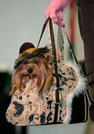 Yorkshire Terrier, Russia [REUTERS 2006-12-01]; Image ONLY