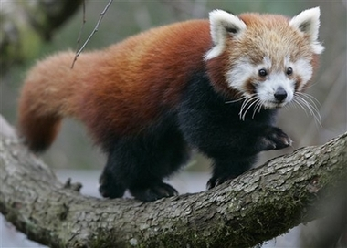 Red Panda, Germany [AP 2006-12-01]; Image ONLY