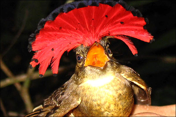 The rainforest's wildlife - Royal Flycatcher [BBC 2006-12-04]; Image ONLY