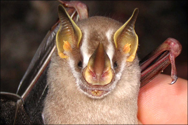 The rainforest's wildlife - Dwarf Fruit-eating Bat [BBC 2006-12-04]; Image ONLY