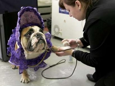 English bulldog, Russia [REUTERS 2006-12-05]; Image ONLY