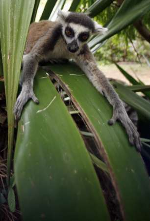 Ring-tailed Lemur, Madagascar [REUTERS 2006-12-05]; Image ONLY