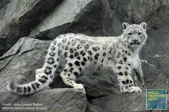 A Leopard of A Different Color - Snow Leopard [LiveScience 2006-12-08]; Image ONLY