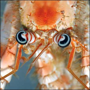 Year of marine wonders - Anemone Crab [BBC 2006-12-11]; Image ONLY