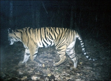 Wild Sumatran Tiger, Indonesia [AFP 2006-12-14]; Image ONLY