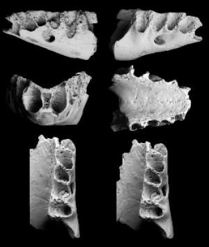 Tiny Bones Rewrite Textbooks: First New Zealand Land Mammal Fossil [ScienceDaily 2006-12-14]; Image ONLY