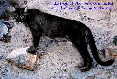 Black Cat In Latin