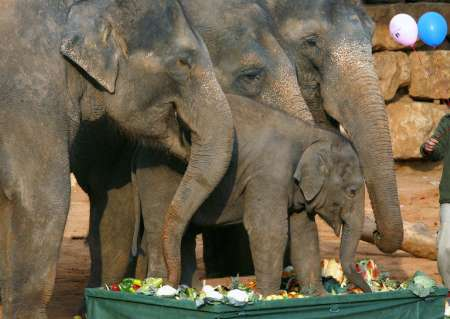 Asian Elephants, Israel [REUTERS 2006-12-15]; Image ONLY