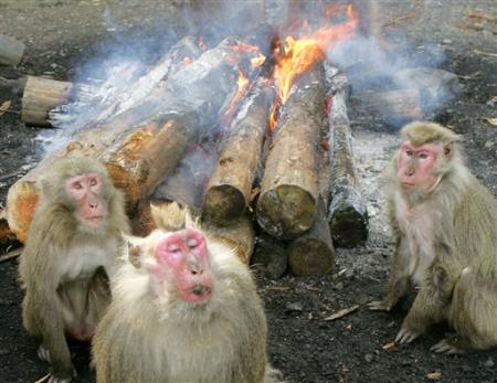 Yakushima Monkeys, Japan [AP 2006-12-19]; Image ONLY