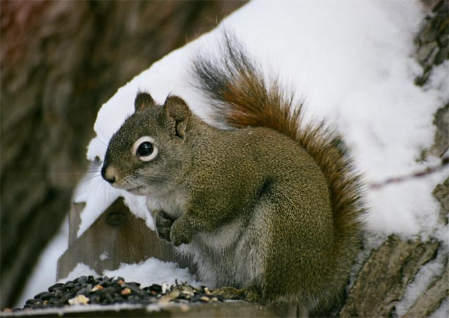 Savvy Squirrels Outwit Trees [LiveScience 2006-12-21]; Image ONLY