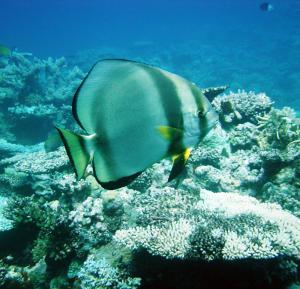Batfish To The Rescue! Rare Fish Clean Up Weed-choaked Coral Reefs [ScienceDaily 2006-12-21]; Image ONLY