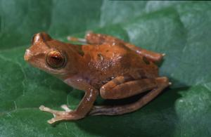 2006 Is Banner Year For Discoveries Of New Species In Borneo's Rainforests [ScienceDaily 2006-12-22]; Image ONLY