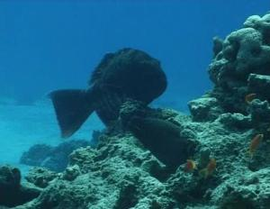 Fishy Cooperation: Scientists Discover Coordinated Hunting Between Groupers, Giant Moray Eels [ScienceDaily 2006-12-23]; Image ONLY